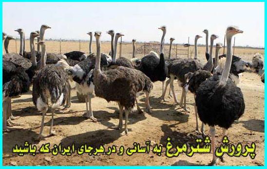 هزینه اولیه پرورش شترمرغ در ایران