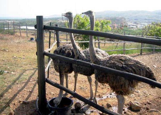 گوشتی شترمرغ پرورش