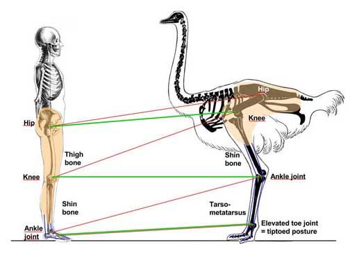 طرح توجیهی پرورش شترمرغ
